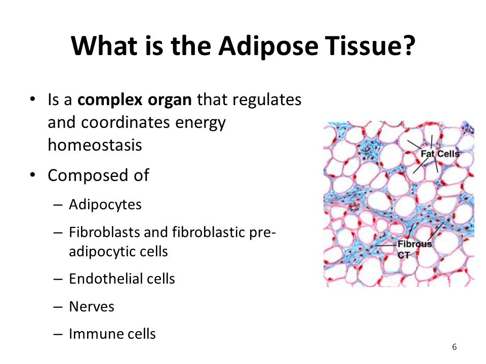What is the Adipose Tissue.