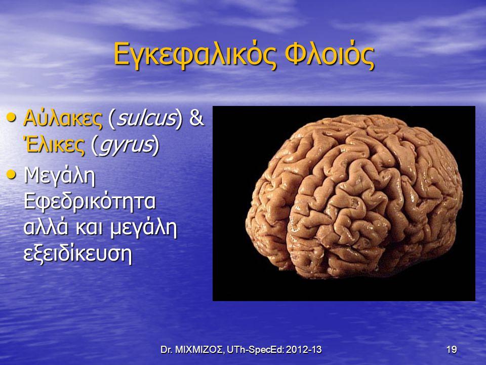Εγκεφαλικός Φλοιός Αύλακες (sulcus) & Έλικες (gyrus) Αύλακες (sulcus) & Έλικες (gyrus) Μεγάλη Εφεδρικότητα αλλά και μεγάλη εξειδίκευση Μεγάλη Εφεδρικό