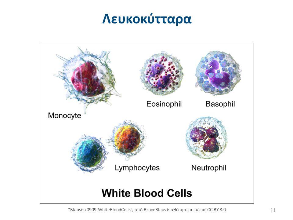 """Λευκοκύτταρα 11 """"Blausen 0909 WhiteBloodCells"""", από BruceBlaus διαθέσιμο με άδεια CC BY 3.0Blausen 0909 WhiteBloodCellsBruceBlausCC BY 3.0"""