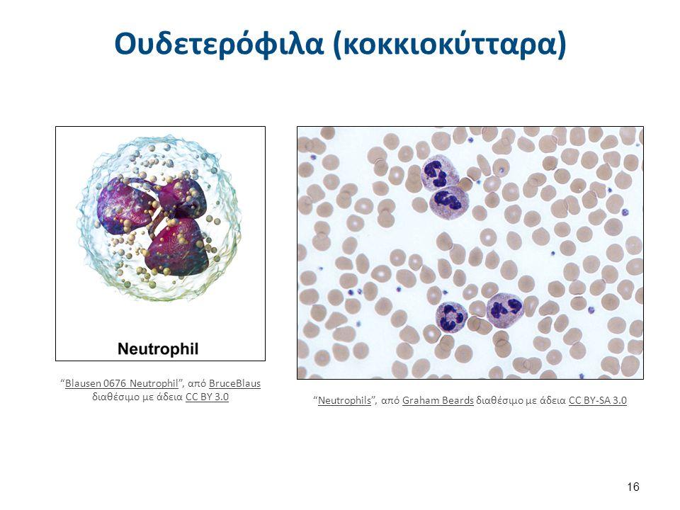 """Ουδετερόφιλα (κοκκιοκύτταρα) 16 """"Blausen 0676 Neutrophil"""", από BruceBlaus διαθέσιμο με άδεια CC BY 3.0Blausen 0676 NeutrophilBruceBlausCC BY 3.0 """"Neut"""