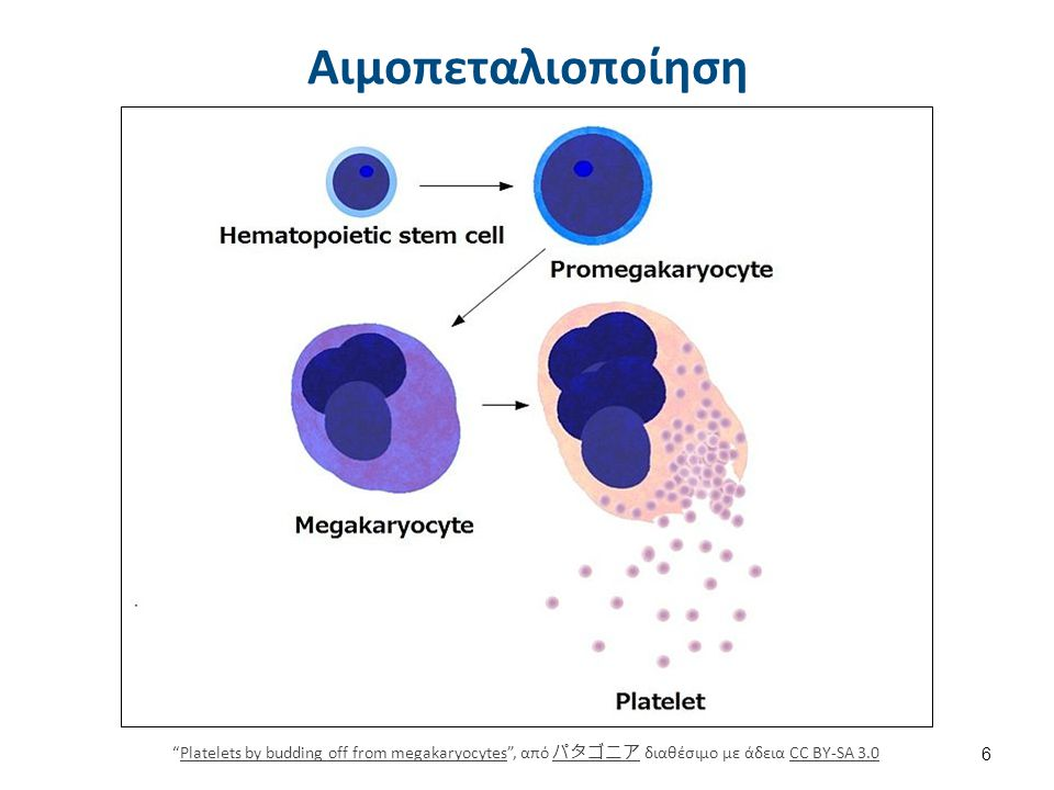 Αιμοπεταλιοποίηση Platelets by budding off from megakaryocytes , από パタゴニア διαθέσιμο με άδεια CC BY-SA 3.0Platelets by budding off from megakaryocytes パタゴニアCC BY-SA 3.0 6