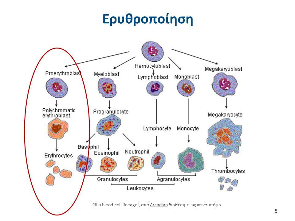 """Ερυθροποίηση 8 """"Illu blood cell lineage"""", από Arcadian διαθέσιμο ως κοινό κτήμαIllu blood cell lineageArcadian"""