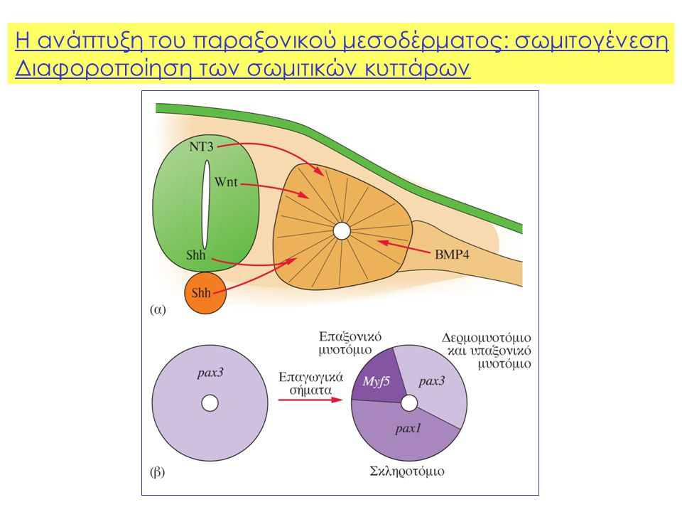 Η ανάπτυξη του παραξονικού μεσοδέρματος: σωμιτογένεση Διαφοροποίηση των σωμιτικών κυττάρων