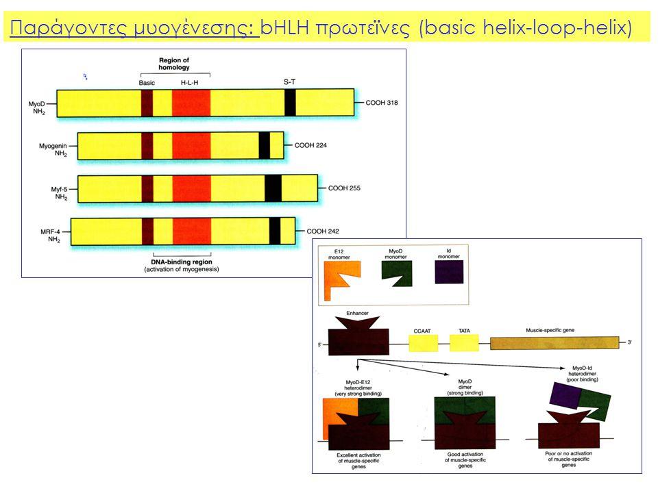 Παράγοντες μυογένεσης: bHLH πρωτεϊνες (basic helix-loop-helix)