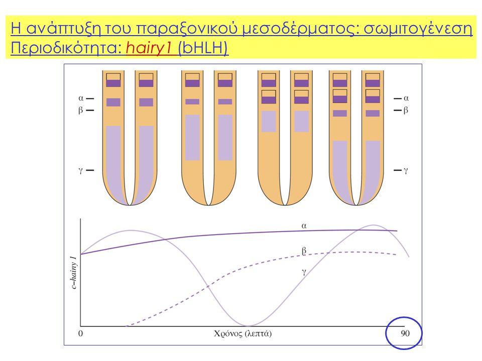 Η ανάπτυξη του παραξονικού μεσοδέρματος: σωμιτογένεση Περιοδικότητα: hairy1 (bHLH)