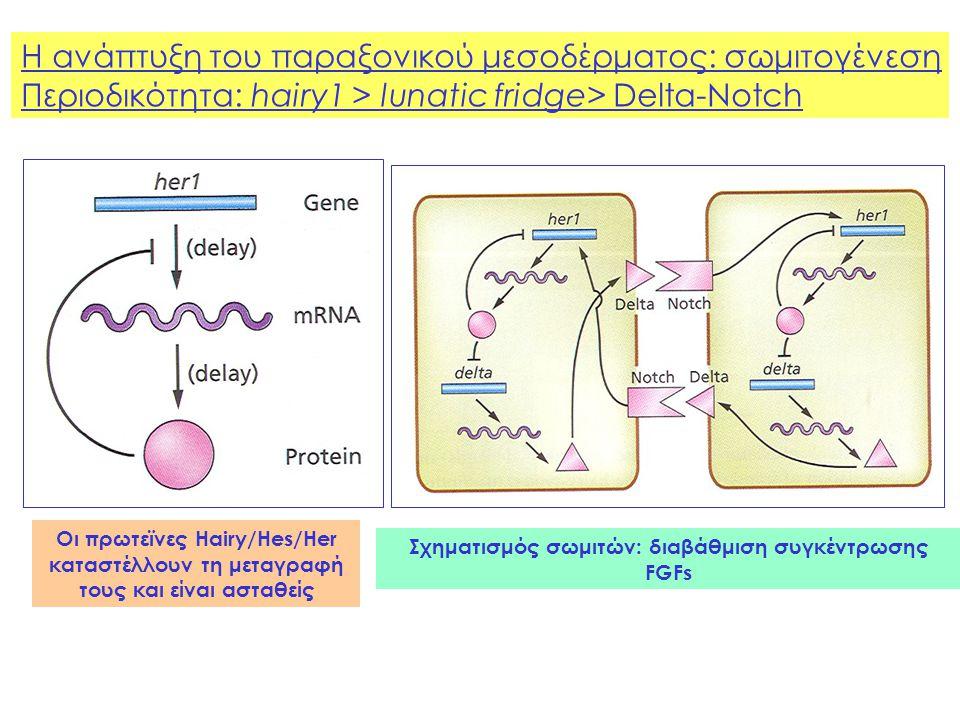 Η ανάπτυξη του παραξονικού μεσοδέρματος: σωμιτογένεση Περιοδικότητα: hairy1 > lunatic fridge> Delta-Notch Οι πρωτεϊνες Hairy/Hes/Her καταστέλλουν τη μεταγραφή τους και είναι ασταθείς Σχηματισμός σωμιτών: διαβάθμιση συγκέντρωσης FGFs