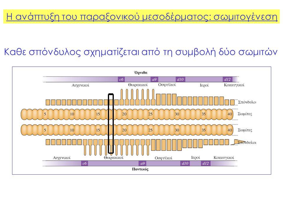 Η ανάπτυξη του παραξονικού μεσοδέρματος: σωμιτογένεση Κάθε σπόνδυλος χαρακτηρίζεται από την έκφραση ενός συγκεκριμένου συνδυασμού γονιδίων Hox