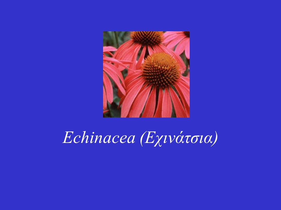 Echinacea (Εχινάτσια)