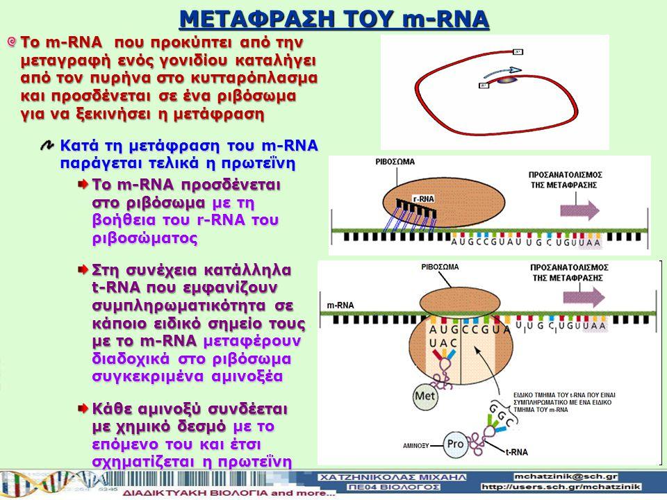 Υπάρχουν άλλα 2 είδη μορίων RNA που παράγονται με τη μεταγραφή Μεταφορικό t-RNA Διαθέτει μια ειδική θέση σύνδεσης με ένα συγκεκριμένο αμινοξύ το μεταφ