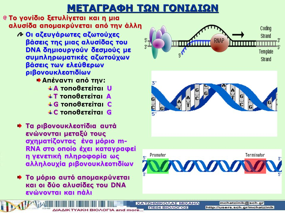 ΜΕΤΑΓΡΑΦΗ ΤΩΝ ΓΟΝΙΔΙΩΝ Η σειρά των αμινοξέων στις πρωτεΐνες καθορίζεται από την σειρά των αζωτούχων βάσεων στα γονίδια του DNA Η σύνθεση του πρωτεϊνών