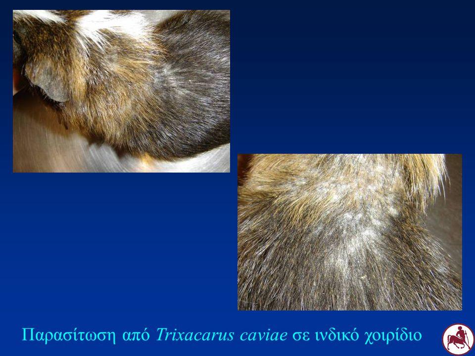 Παρασίτωση από Trixacarus caviae σε ινδικό χοιρίδιο