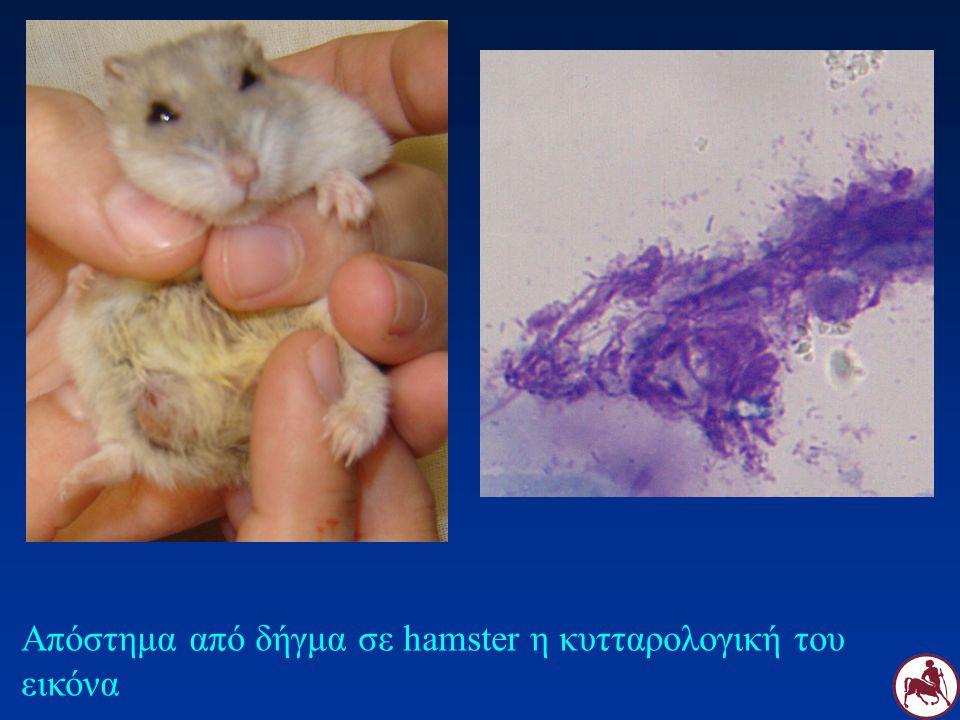 Απόστημα από δήγμα σε hamster η κυτταρολογική του εικόνα