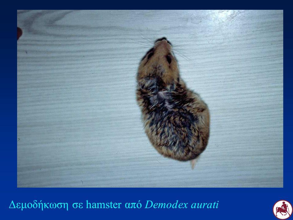 Δεμοδήκωση σε hamster από Demodex aurati