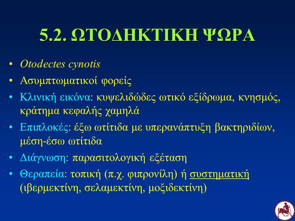 5.2. ΩΤΟΔΗΚΤΙΚΗ ΨΩΡΑ Otodectes cynotis Ασυμπτωματικοί φορείς Κλινική εικόνα: κυψελιδώδες ωτικό εξίδρωμα, κνησμός, κράτημα κεφαλής χαμηλά Επιπλοκές: έξ