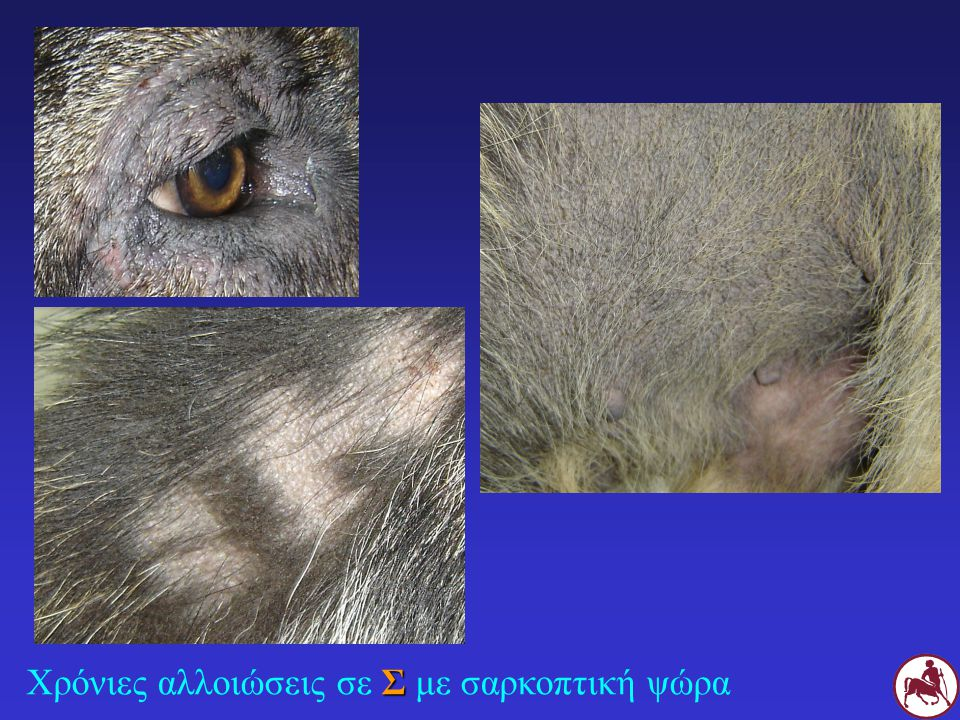ΖΩΟΑΝΘΡΩΠΟΝΟΣΟΣ Μετάδοση στους ιδιοκτήτες (10%) Κνησμώδης βλατιδοεφελκιδώδης δερματίτιδα (κορμός, χέρια) Συνήθως αυτοΐαση