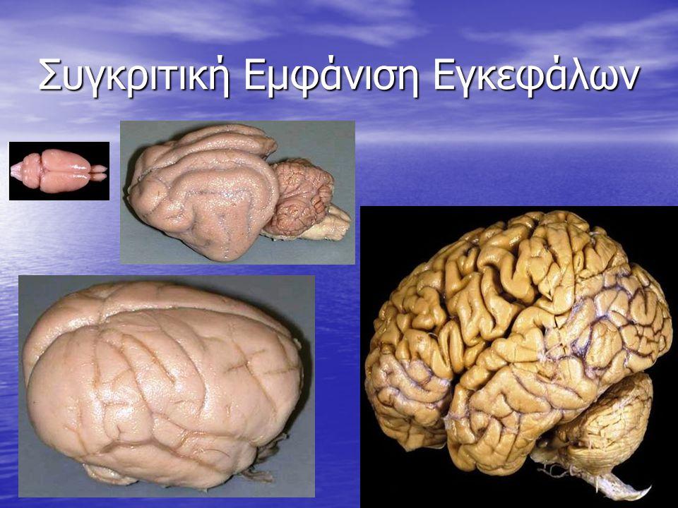 Συγκριτική Εμφάνιση Εγκεφάλων 4