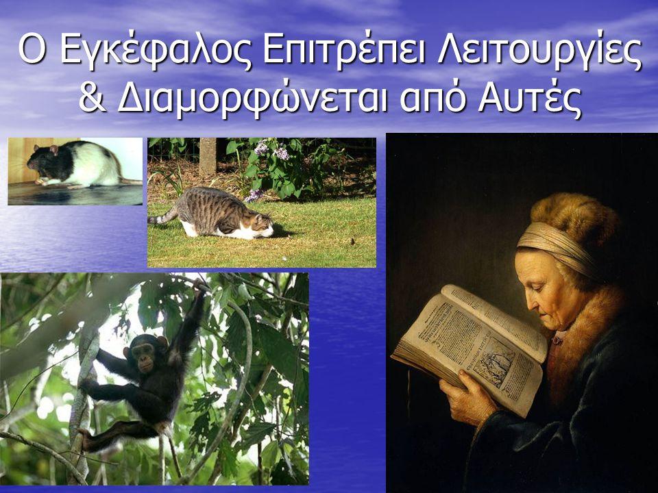 Εσωτερική Οργάνωση του Εγκεφάλου Dr. ΜΙΧΜΙΖΟΣ, UTh-SpecEd: 2012-13 36
