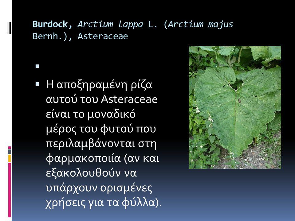 Burdock, Arctium lappa L. (Arctium majus Bernh.), Asteraceae   Η αποξηραμένη ρίζα αυτού του Asteraceae είναι το μοναδικό μέρος του φυτού που περιλαμ