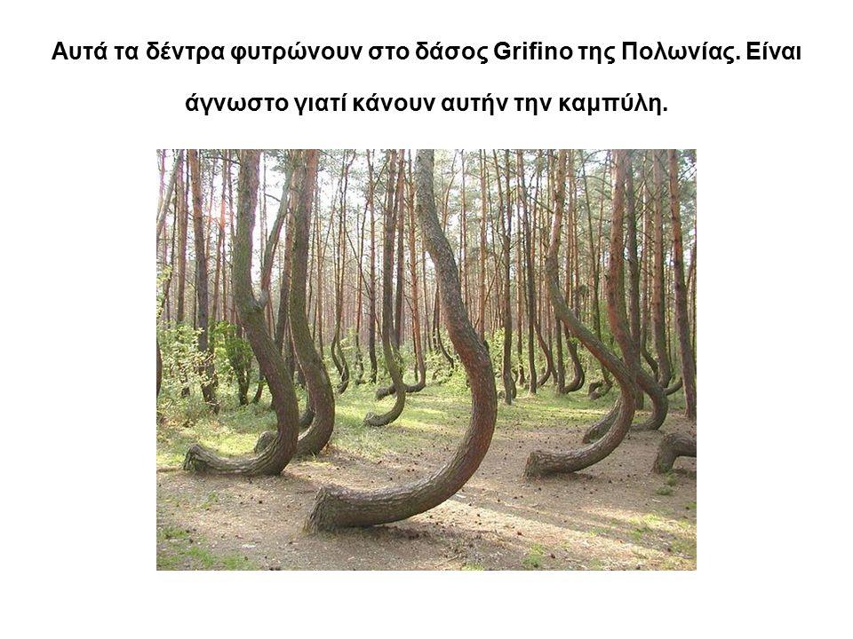 Αυτά τα δέντρα φυτρώνουν στο δάσος Grifino της Πολωνίας. Είναι άγνωστο γιατί κάνουν αυτήν την καμπύλη.
