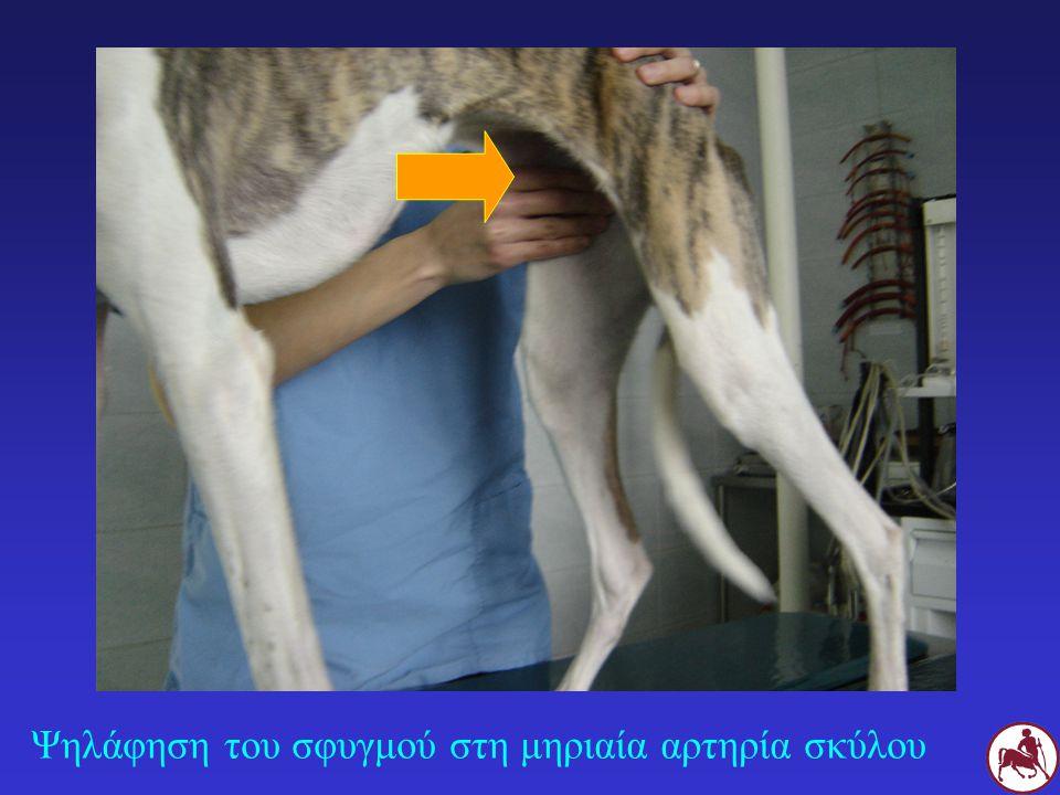 Ψηλάφηση του σφυγμού στη μηριαία αρτηρία σκύλου