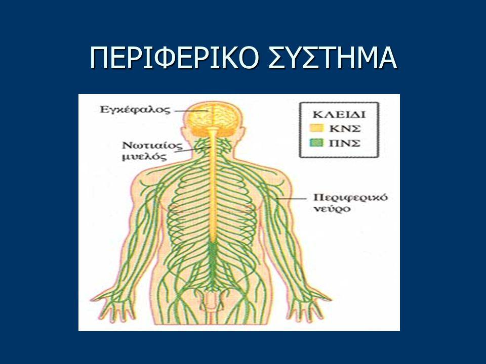 Το σωματικό νευρικό σύστημα διαιρείται στα εξής επιμέρους συστήματα: Το σωματικό νευρικό σύστημα διαιρείται στα εξής επιμέρους συστήματα: α) Στο Κεντρικό νευρικό σύστημα (ΚΝΣ), που αποτελείται από τον νωτιαίο μυελό και τον εγκέφαλο.