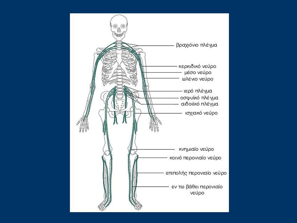 Το περιφερικό νευρικό σύστημα (ΠΝΣ) αποτελείται από τα περιφερικά νεύρα τα οποία είναι εξαπλωμένα σε όλο το ανθρώπινο σώμα.