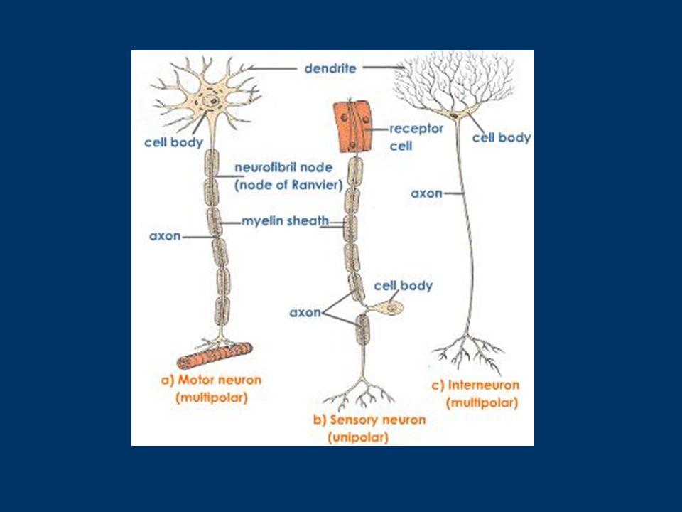 ΥΠΟΣΗΜΕΙΩΣΗ Ένα άλλο είδος νευρώνων είναι και οι ενδιάμεσοι, που υπάρχουν μόνο στο ΚΝΣ.