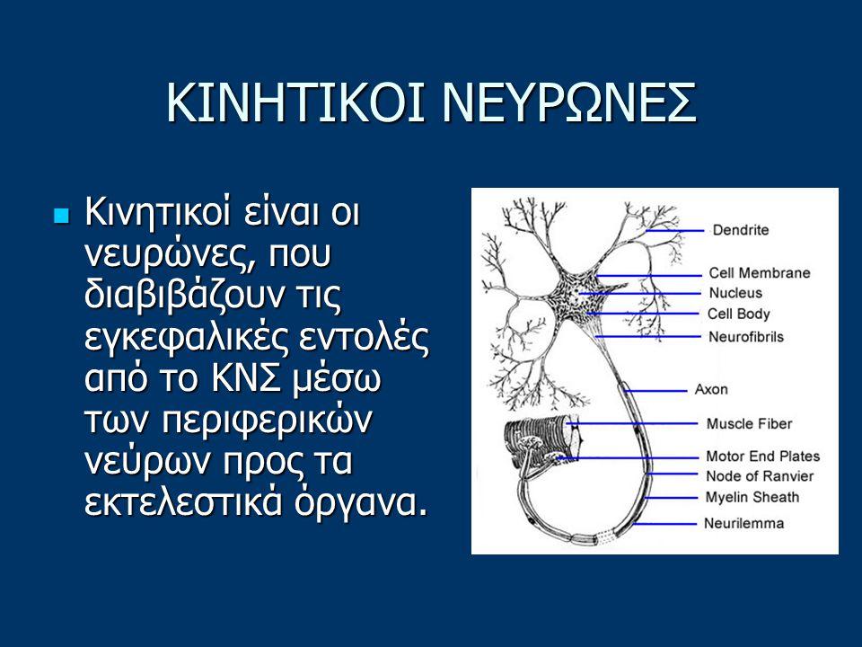 Οι νευράξονές τους εισέρχονται στο νωτιαίο μυελό, όπου συνάπτονται με διάφορους τοπικούς νευρώνες του νωτιαίου μυελού, είτε συνεχίζουν, μέσω της λευκής ουσίας, μέχρι τον εγκέφαλο, όπου συνάπτονται με νευρώνες διαφόρων εγκεφαλικών κέντρων.