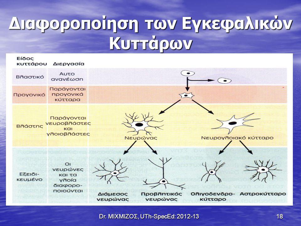 Dr. ΜΙΧΜΙΖΟΣ, UTh-SpecEd: 2012-13 18 Διαφοροποίηση των Εγκεφαλικών Κυττάρων