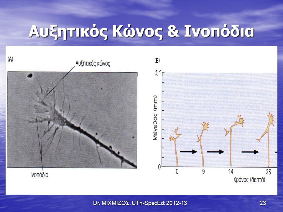 Dr. ΜΙΧΜΙΖΟΣ, UTh-SpecEd: 2012-13 23 Αυξητικός Κώνος & Ινοπόδια