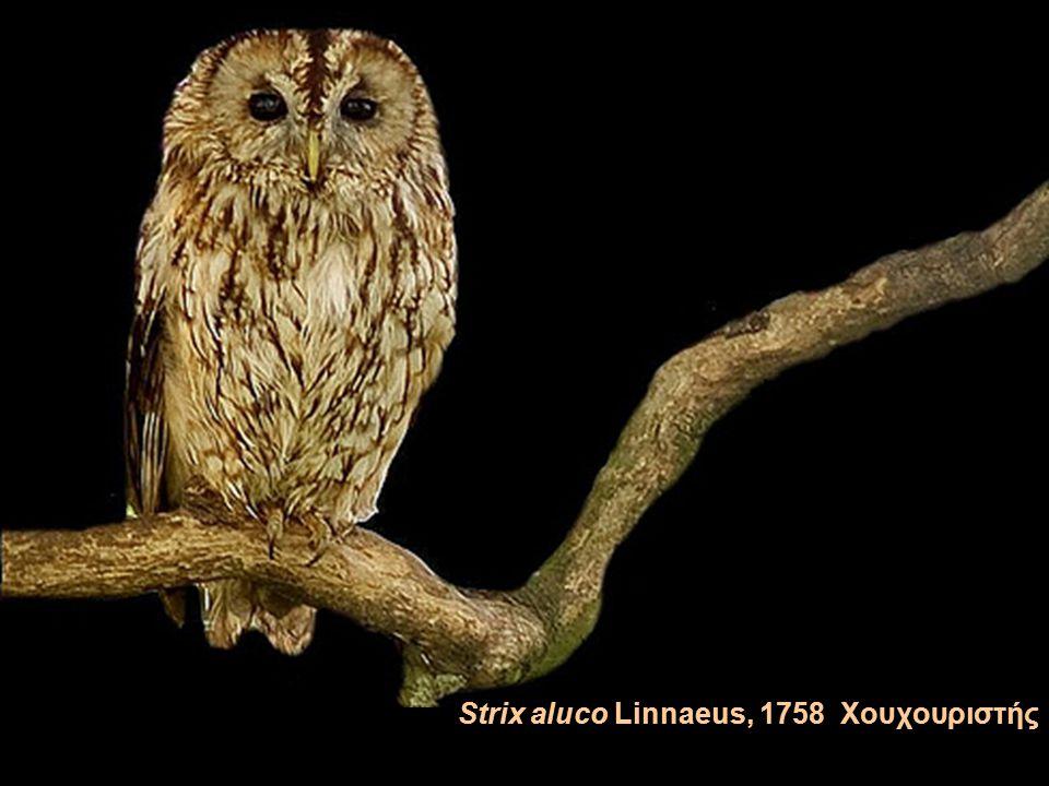 Otus scops (Linnaeus, 1758) Γκιώνης