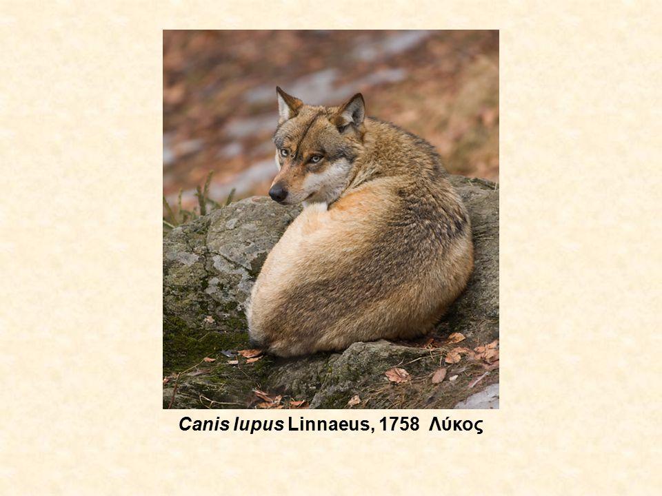Vulpes vulpes (Linnaeus, 1758) Αλεπού