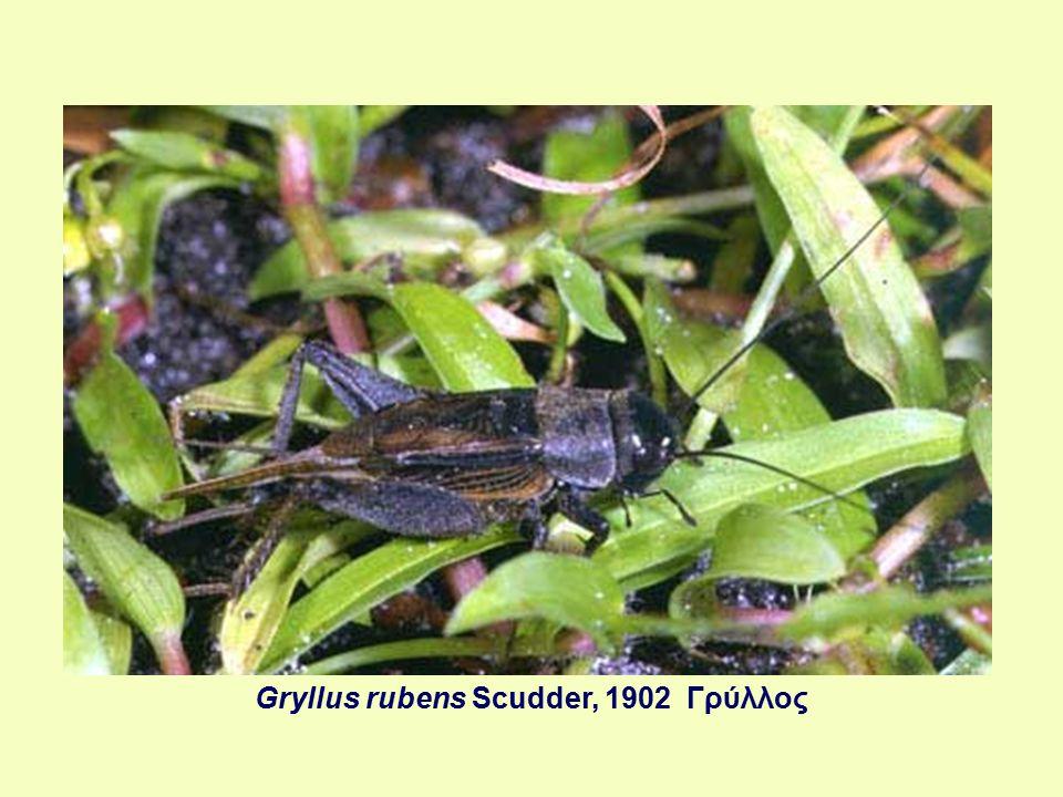 Dendrocopos minor (Linnaeus, 1758) Νανοτσικλιτάρα, Νανοδενδροκόπος