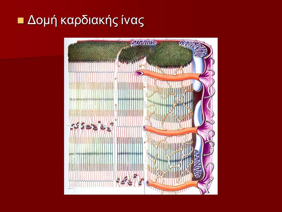 Δομή καρδιακής ίνας Δομή καρδιακής ίνας