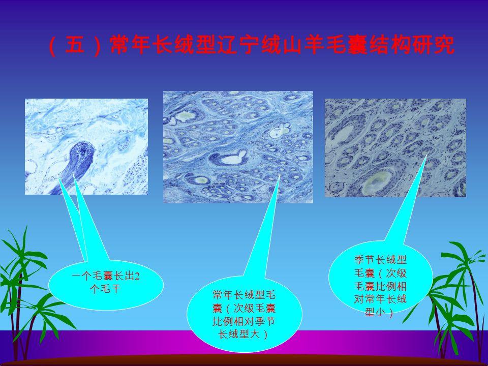(五)常年长绒型辽宁绒山羊毛囊结构研究 常年长绒型毛 囊(次级毛囊 比例相对季节 长绒型大) 季节长绒型 毛囊(次级 毛囊比例相 对常年长绒 型小) 一个毛囊长出 2 个毛干