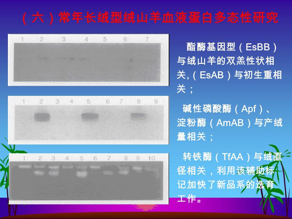 (六)常年长绒型绒山羊血液蛋白多态性研究 酯酶基因型( EsBB ) 与绒山羊的双羔性状相 关, ( EsAB )与初生重相 关; 碱性磷酸酶( Apf )、 淀粉酶( AmAB )与产绒 量相关; 转铁酶( TfAA )与绒直 径相关,利用该辅助标 记加快了新品系的选育 工作。