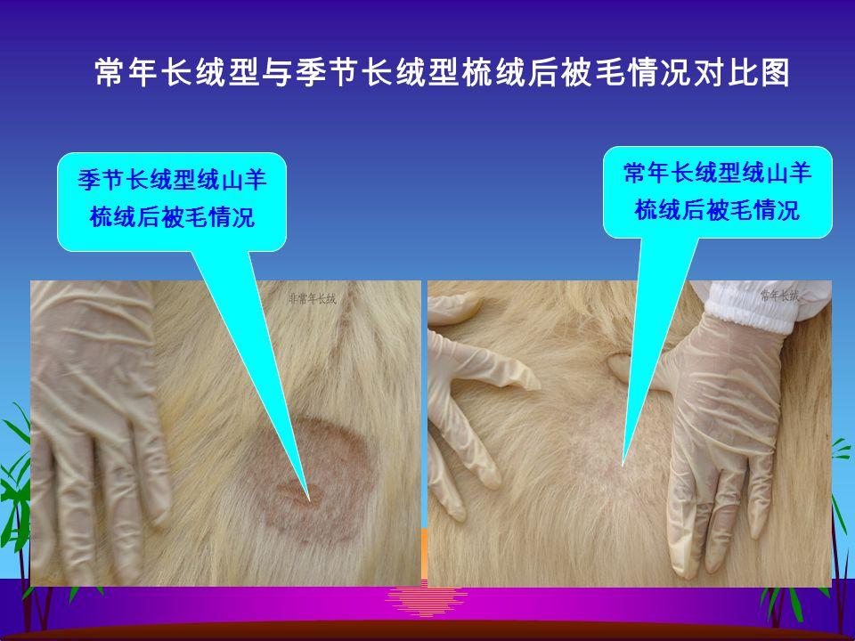 季节长绒型绒山羊 梳绒后被毛情况 常年长绒型绒山羊 梳绒后被毛情况 常年长绒型与季节长绒型梳绒后被毛情况对比图