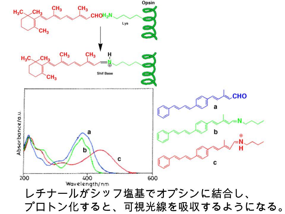 レチナールがシッフ塩基でオプシンに結合し、 プロトン化すると、可視光線を吸収するようになる。