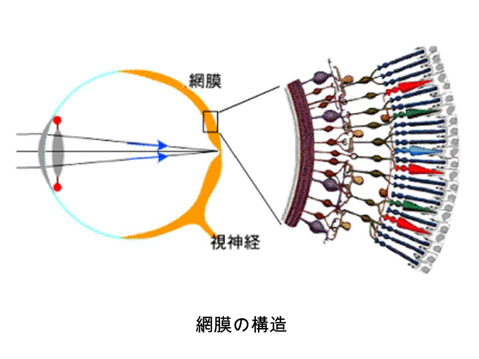 網膜の構造