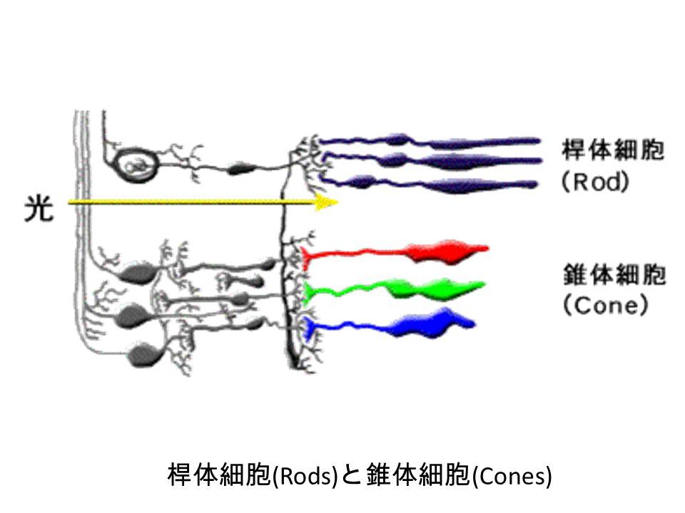 桿体細胞 (Rods) と錐体細胞 (Cones)