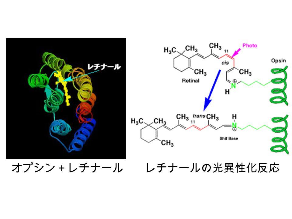 シスおよびトランスレチナール トランスに変化すると オプシン(緑色)から離れてしまう