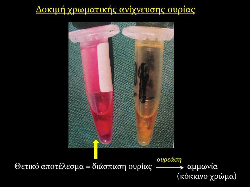 Δοκιμή χρωματικής ανίχνευσης ουρίας Θετικό αποτέλεσμα = διάσπαση ουρίας αμμωνία (κόκκινο χρώμα) ουρεάση