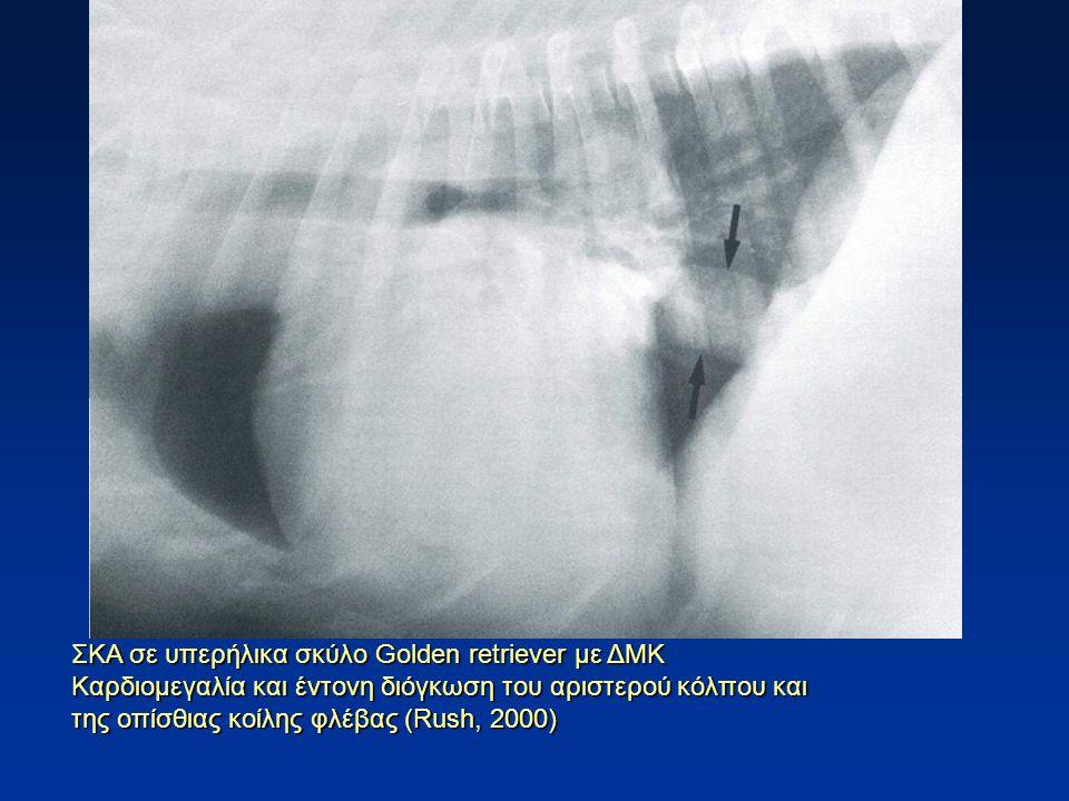 ΣΚΑ σε υπερήλικα σκύλο Golden retriever με ΔΜΚ Καρδιομεγαλία και έντονη διόγκωση του αριστερού κόλπου και της οπίσθιας κοίλης φλέβας (Rush, 2000)