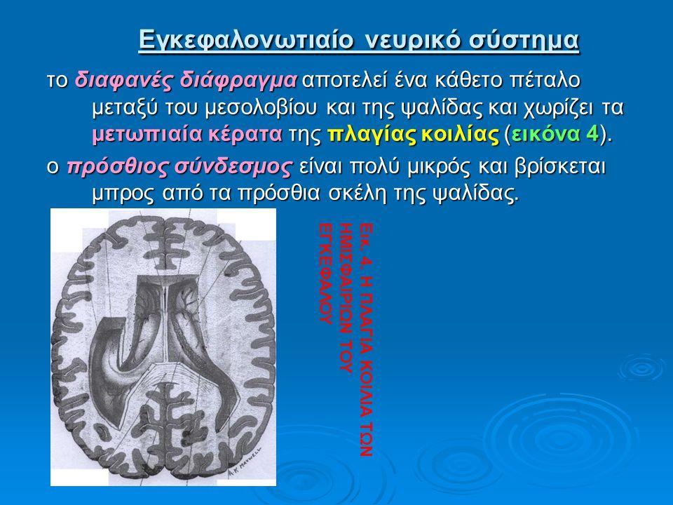 Εγκεφαλονωτιαίο νευρικό σύστημα Εγκεφαλονωτιαίο νευρικό σύστημα το διαφανές διάφραγμα αποτελεί ένα κάθετο πέταλο μεταξύ του μεσολοβίου και της ψαλίδας
