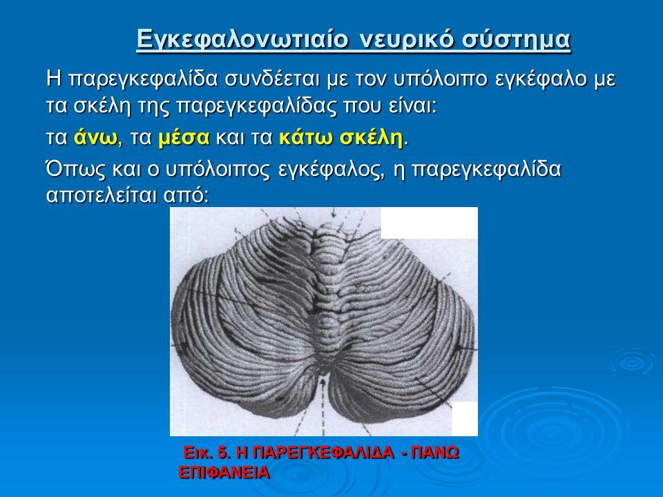 Εγκεφαλονωτιαίο νευρικό σύστημα Εγκεφαλονωτιαίο νευρικό σύστημα Η παρεγκεφαλίδα συνδέεται με τον υπόλοιπο εγκέφαλο με τα σκέλη της παρεγκεφαλίδας που