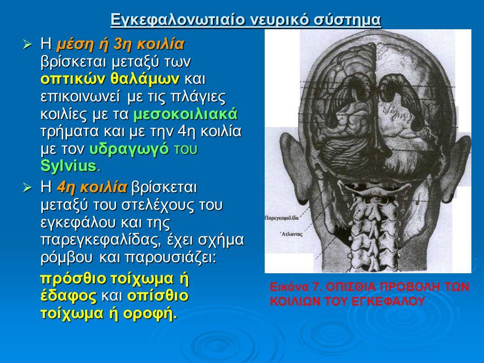 Εγκεφαλονωτιαίο νευρικό σύστημα Εγκεφαλονωτιαίο νευρικό σύστημα  Η μέση ή 3η κοιλία βρίσκεται μεταξύ των οπτικών θαλάμων και επικοινωνεί με τις πλάγι