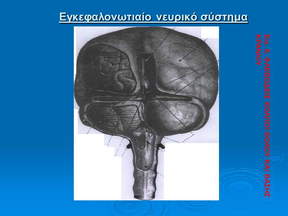 Εγκεφαλονωτιαίο νευρικό σύστημα Εγκεφαλονωτιαίο νευρικό σύστημα Εικ. 8. ΦΛΕΒΩΔΕΙΣ ΚΟΛΠΟΙ ΘΟΛΟΥ ΚΑΙ ΒΑΣΗΣ ΚΡΑΝΙΟΥ