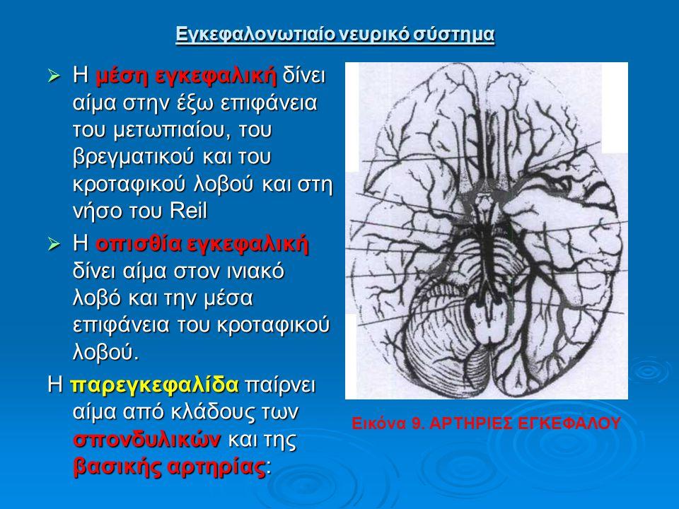 Εγκεφαλονωτιαίο νευρικό σύστημα Εγκεφαλονωτιαίο νευρικό σύστημα  Η μέση εγκεφαλική δίνει αίμα στην έξω επιφάνεια του μετωπιαίου, του βρεγματικού και