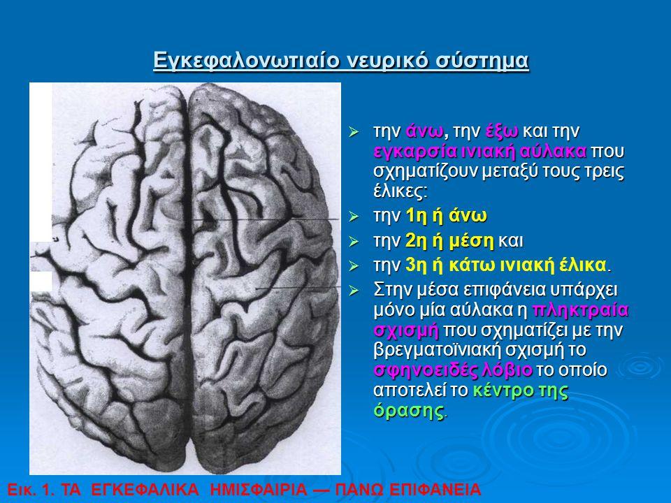Εγκεφαλονωτιαίο νευρικό σύστημα Εγκεφαλονωτιαίο νευρικό σύστημα  την άνω, την έξω και την εγκαρσία ινιακή αύλακα που σχηματίζουν μεταξύ τους τρεις έλ