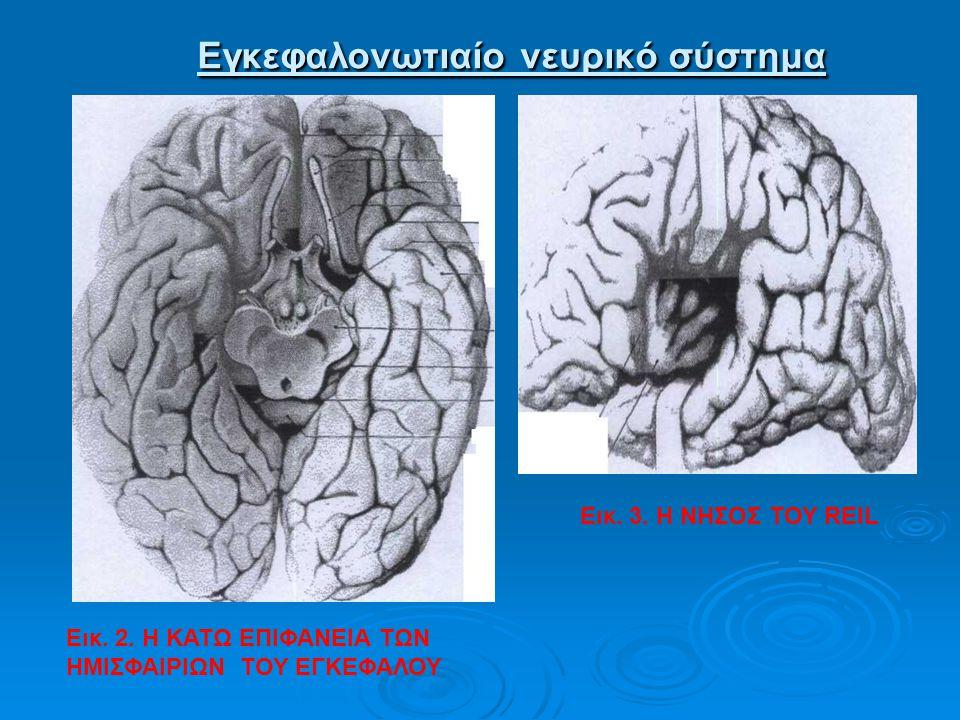 Εγκεφαλονωτιαίο νευρικό σύστημα Εγκεφαλονωτιαίο νευρικό σύστημα Εικ. 2. Η ΚΑΤΩ ΕΠΙΦΑΝΕΙΑ ΤΩΝ ΗΜΙΣΦΑΙΡΙΩΝ ΤΟΥ ΕΓΚΕΦΑΛΟΥ Εικ. 3. Η ΝΗΣΟΣ ΤΟΥ REIL